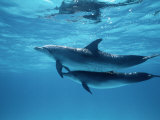 A Pair of Spotted Dolphins Fotografie-Druck von Wolcott Henry