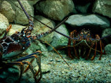 Spiny Lobsters Confront One Another over Territory Fotografie-Druck von George Grall
