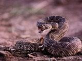 Diamondback Rattlesnake (Crotalus Atrox) Fotografisk tryk af Joel Sartore