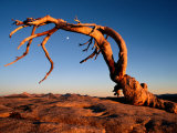 Twilight View of a Jeffrey Pine Tree (Pinus Jeffreyi) Stretched Canvas Print by Phil Schermeister