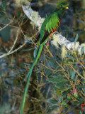 View of a Male Resplendent Quetzal (Pharomachrus Mocinno Costricensis) Reproduction photographique par Roy Toft