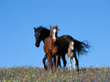 A View of Wild Horses in a Field of Wildflowers 写真プリント : レイモンド・ゲーマン
