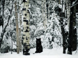 A Gray Wolf Sitting in the Midst of a Snowy Landscape Fotoprint van Joel Sartore