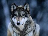 Grauwolf im Internationalen Wolfzentrum nahe Ely Fotografie-Druck von Joel Sartore