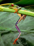 Close View of a Red-Eyed Tree Frog (Agalychnis Callidryas) Climbing onto a Leaf in Costa Rica 写真プリント : スティーブ・ウィンター