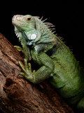 Green Iguana, Also Known as the Common Iguana Fotografisk trykk av George Grall