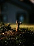 Black-Tailed Prairie Dog on Mound Near Louisville, Colorado Photographic Print by Raymond Gehman