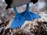 Gros plan des pieds palmés d'un fou à pattes bleues Reproduction photographique par Tim Laman