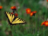 A Tiger Swallowtail Butterfly Fotoprint van Phil Schermeister