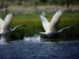 Trumpeter Swans, North Americas Largest Waterfowl Photographic Print by Raymond Gehman