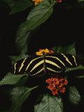 Zebra Butterfly Feeding Fotoprint van Brian Gordon Green