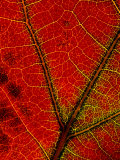 A Close View of the Veins of a Colorful Maple Leaf in Autumn Impressão fotográfica por George F. Mobley