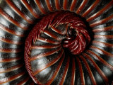 A Millipede Curled into a Spiral Fotoprint van George Grall