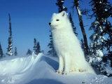 Arctic Fox Fotografisk tryk af Norbert Rosing