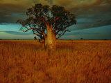 A Boab Tree Fotografisk tryk af Sam Abell