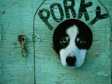Porky the Dog Fotografisk tryk af Chris Johns