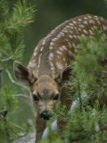 A Mule Deer Fawn Peeks Through Branches of an Evergreen Tree Impressão fotográfica por Tom Murphy