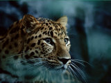 An Amur Leopard at the Minnesota Zoological Gardens Fotografisk tryk af Michael Nichols