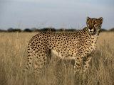An African Cheetah Standing in a Field of Tall Grass Fotografisk tryk af Chris Johns