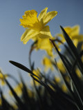 Close-up of Blooming Daffodils Photographic Print by Anne Keiser