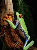 A Red-Eyed Tree Frog Fotografisk trykk av George Grall