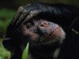 Close-up of a Chimpanzee Holding its Forehead Lámina fotográfica por Nichols, Michael