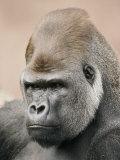 A Portrait of a Western Lowland Gorilla Fotografie-Druck von Jason Edwards