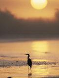 A Little Blue Heron Silhouetted on a Florida Beach at Sunrise Fotografisk trykk av Roy Toft