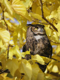 A Captive Great Horned Owl is Perched in a Tree Fotografisk trykk av Roy Toft