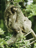 Sloths Cling to a Tree Branch 写真プリント : スティーブ・ウィンター