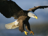 An American Bald Eagle Lunges Toward its Prey Below the Water Impressão fotográfica por Klaus Nigge