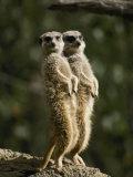 A Pair of Meerkats Keep a Double Watch on Things Lámina fotográfica por Edwards, Jason