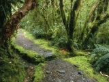 The Milford Track Running Through Temperate Rainforest Trees Fotografisk trykk av Mark Cosslett