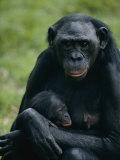 Une mère bonobo portant son petit dans le parc animalier de San Diego Reproduction photographique par Michael Nichols