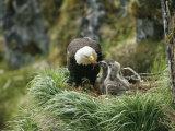 An American Bald Eagle Feeds its Young Fotografisk tryk af Klaus Nigge