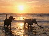 Labrador Retrievers Play in the Water at Sunset Trykk på strukket lerret av Roy Toft