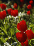 Close View of Tulip Bulbs Photographic Print by Anne Keiser