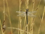 Dragonfly Perched on a Blade of Tan Grass Fotoprint van Klaus Nigge