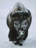 A Frost-Covered American Bison Bull Walks Through the Snow 写真プリント : トム・マーフィ