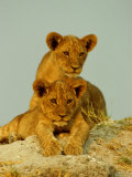 Two Lion Cubs Watch the Action from the Sidelines Fotografisk trykk av Beverly Joubert