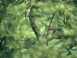 A Sparrowhawk Perches in a Tree, Accipiter Nisus Fotografisk tryk af Klaus Nigge