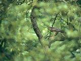 A Sparrowhawk Perches in a Tree, Accipiter Nisus Stampa fotografica di Klaus Nigge
