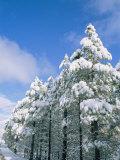 Snow-Covered Trees, Coconino National Forest, Arizona Lámina fotográfica por Rich Reid