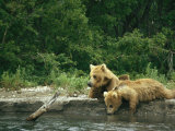 Brown Bear Cubs Resting on a River Bank Photographic Print by Klaus Nigge
