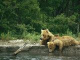 Brown Bear Cubs Resting on a River Bank Stampa fotografica di Klaus Nigge