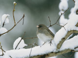 A Female Dark-Eyed Junco on a Snow-Covered Branch Reproduction photographique par Tim Laman