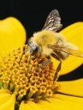 Bee on a Flower Fotoprint van George Grall