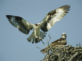 Osprey Landing in its Nest near its Partner Stampa fotografica di Klaus Nigge
