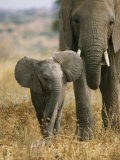 An African Elephant Walks with it Young Stampa fotografica di Roy Toft
