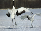A Pair of Japanese or Red Crowned Cranes Engage in a Courtship Dance Stampa fotografica di Tim Laman